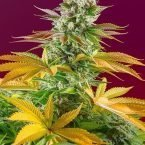 Gorilla Girl F1 FAST Feminised Seeds