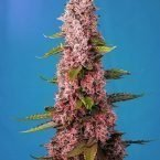 Red Hot Cookies Feminised Seeds