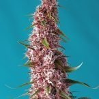 Red Pure CBD Auto Feminised Seeds