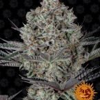 Barneys Farm Do-Si-Dos #33 feminised seeds