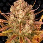 Barneys Farm Do-Si-Dos Auto feminised seeds
